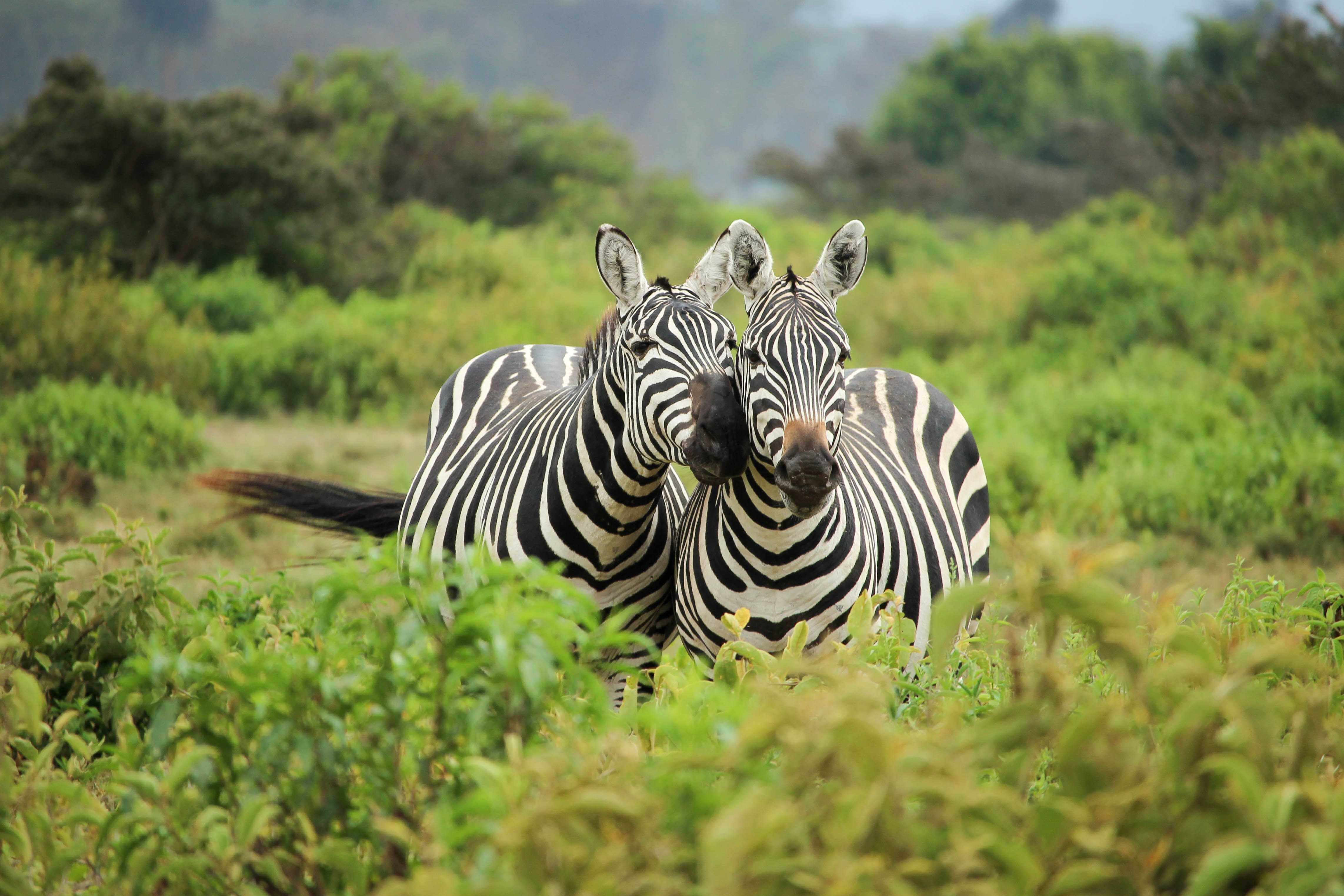 The Big Five of South Africa are the lion, leopard, rhino, cape buffalo and the elephant. Spot Zebras too!